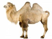 животные - верблюды