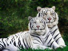 животные - тигры - белый тигр